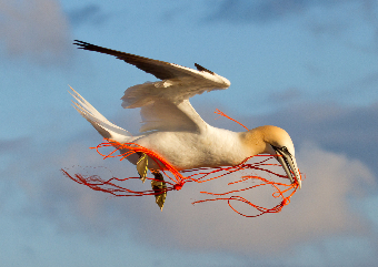 Check out the Gannets of Bass Rock on your Scottish Golf Trip with Drumgolf